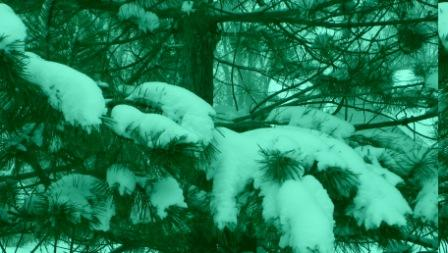 Black Pine boughs with snow.  Fredonia NY  (c) 2013 barefoot photos